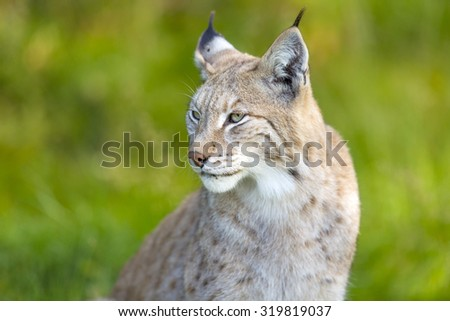 Eurasian lynx sitting in the green grass - stock photo