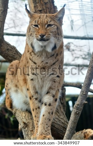Eurasian lynx sitting on tree (Lynx lynx) - stock photo