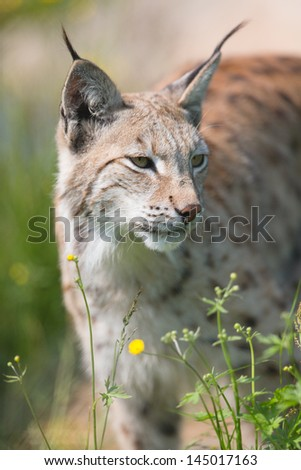 Eurasian lynx sneaks or stalking in the green grass. - stock photo