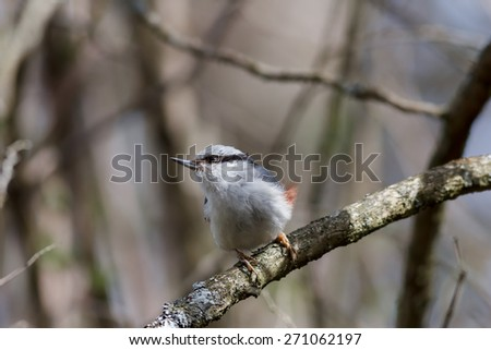 Eurasian nuthatch or wood nuthatch (Sitta europaea) sitting on a branch with a blurred background - stock photo