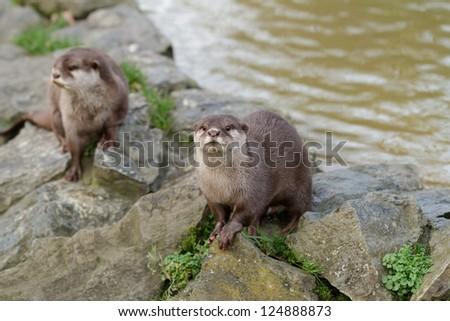 Eurasian otter (Lutra lutra) - stock photo