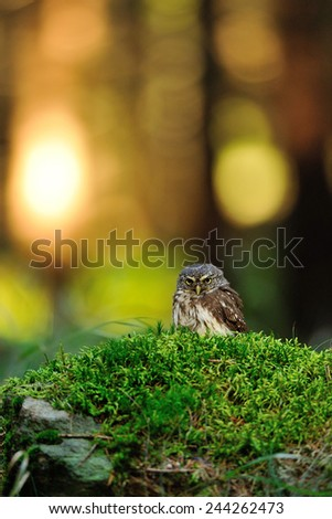 Eurasian pygmy owl standing on the green moss in forest - stock photo