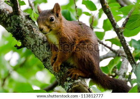 Eurasian red squirrel sitting in a tree - stock photo