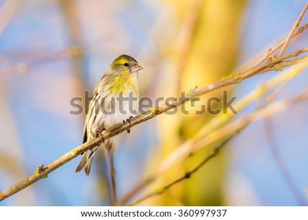 Eurasian siskin sitting on a twig of a tree - stock photo