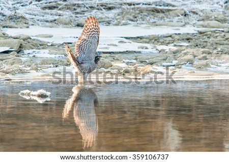Eurasian sparrowhawk displaying wings, with backlight, while trying to drink water in a small river in winter, with water reflection - stock photo