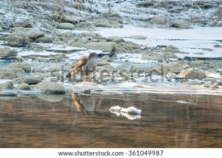 Eurasian sparrowhawk on small river shore in winter, with water reflection - stock photo