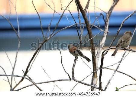 Eurasian tree sparrow - stock photo