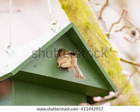 Eurasian Tree Sparrow in a green wooden Birdhouse - stock photo