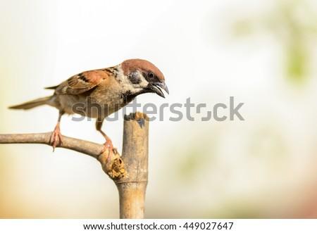Eurasian Tree Sparrow on a stump - stock photo