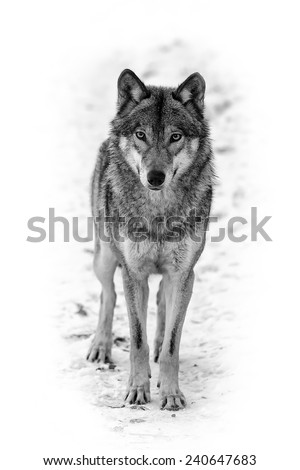 Eurasian wolf black and white - stock photo