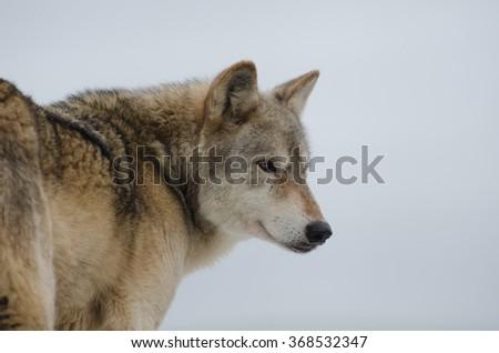 Eurasian Wolf (Canis Lupis Lupis), isolated on white background - stock photo
