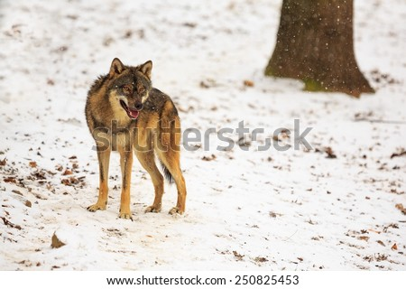 Eurasian wolf is staying - stock photo