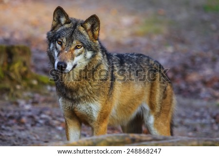 Eurasian wolf look around - stock photo