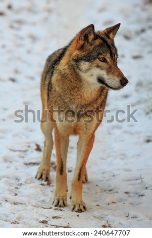 Eurasian wolf looking around himself - stock photo
