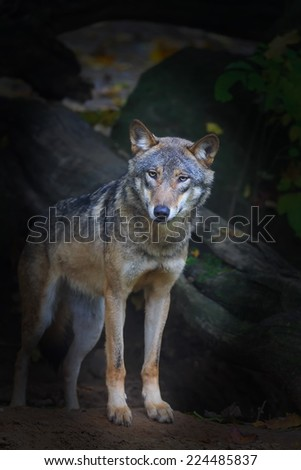 Eurasian wolf rising from darkness - stock photo
