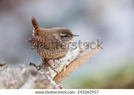 Eurasian Wren (Troglodytes troglodytes).Wild bird in a natural habitat. Russia, Moscow, Timirjazevsky park. - stock photo