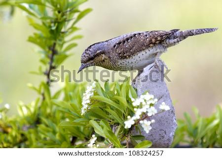 Eurasian Wryneck Jynx torquilla - stock photo