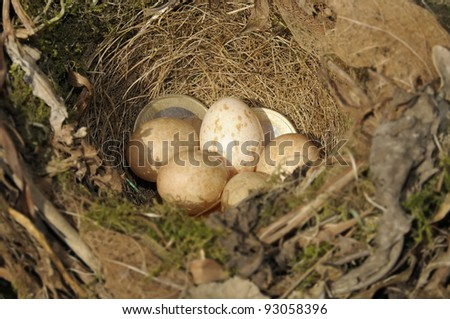 Euro coins in amongst a bird's nest to illustrate a savings plan. Focus on coins. - stock photo