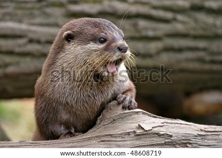 Euroasian River Otter - stock photo