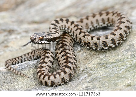 European adder (Vipera berus) - stock photo