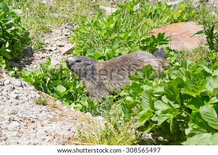 European alpine marmot in the wild - stock photo