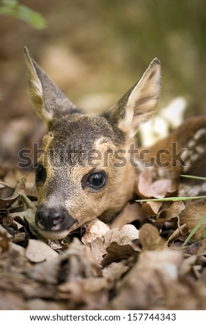 European baby deer in the leaf - stock photo