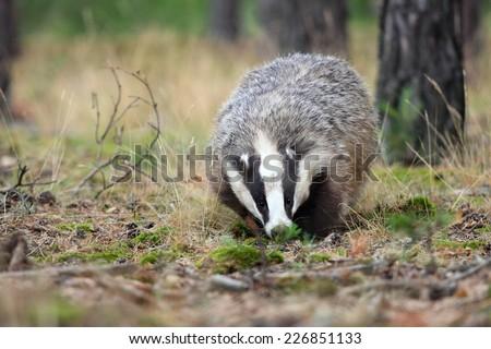 European badger, lat. Meles meles - stock photo