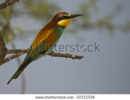 European Bee-eater - stock photo