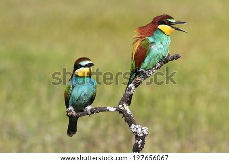 European Bee-Eater Merops apiaster - stock photo