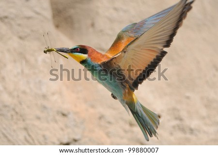 European Bee-eater  (Merops apiaster) in flight with prey - stock photo