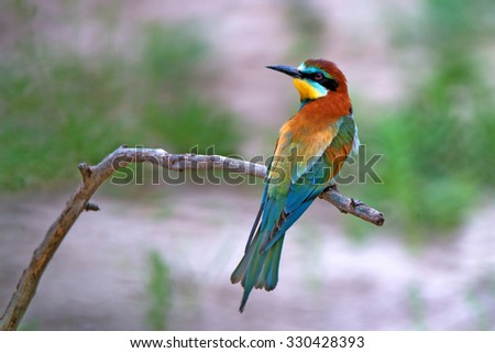 European bee-eater ( Merops apiaster ) is sitting on a twig - stock photo