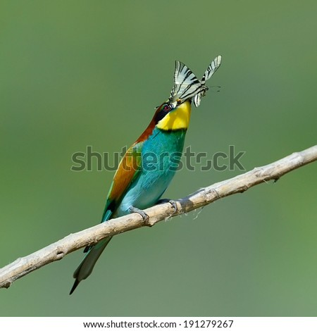 european bee-eater (Merops Apiaster) outdoor eating its prey - stock photo