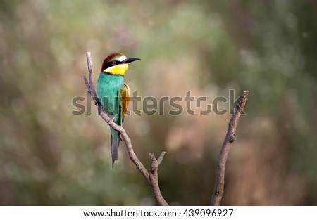 European bee-eater ( Merops Apiaster ) sitting on the branch. Blurry background - stock photo