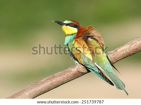 European Bee-eater perched on a twig - stock photo