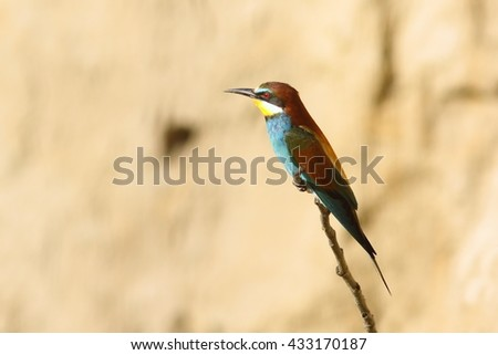european bee-eater perched on twig ( Merops apiaster ) - stock photo