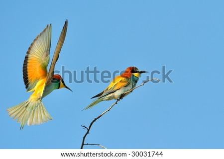 european bee-eaters (Merops Apiaster) outdoor - stock photo