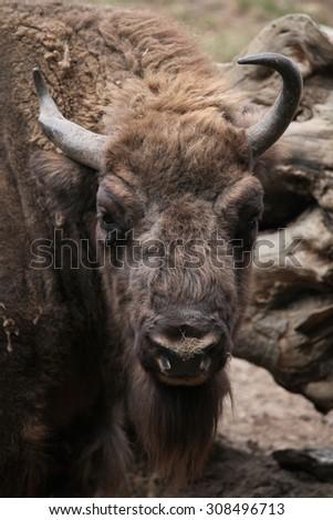 European bison (Bison bonasus), also known as the wisent or the European wood bison. Wild life animal.  - stock photo