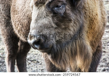 European bison (Bison bonasus) close up portrait. - stock photo