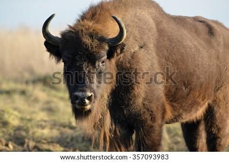 European bison in Czech Republic - stock photo
