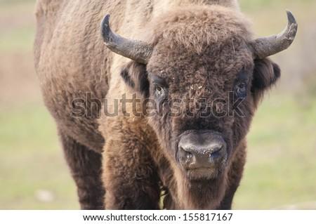European Bison Portrait - stock photo