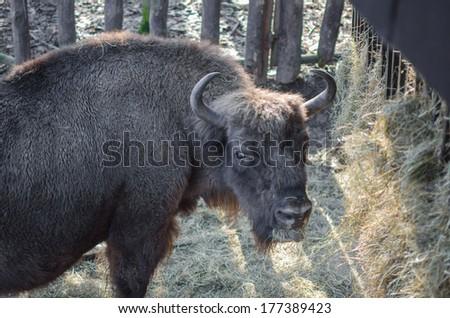 European bison (wisent)  eating hay - stock photo