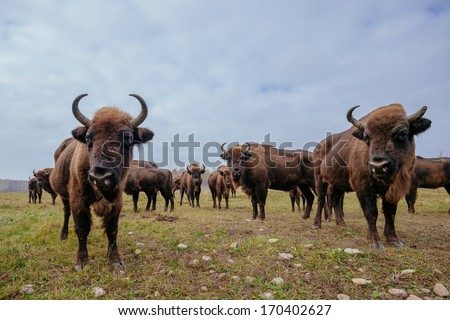 european bisons in the forest - stock photo