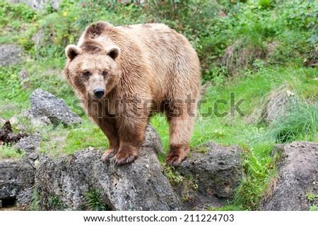 european brown bear in the mountains - stock photo