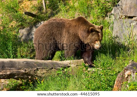 European brown bear in the national park (Langenberg, Switzerland) - stock photo
