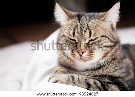 European cat in front - stock photo