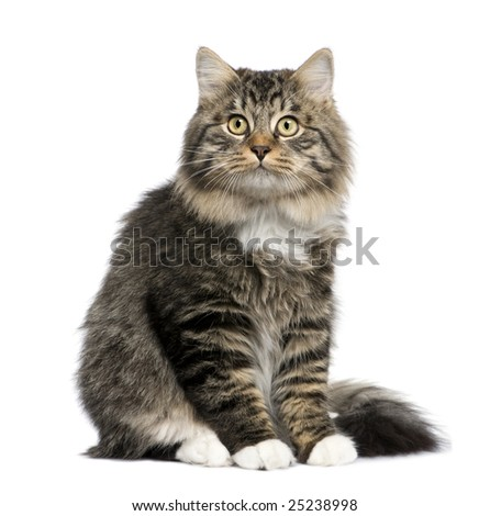 European cat in front of a white background - stock photo