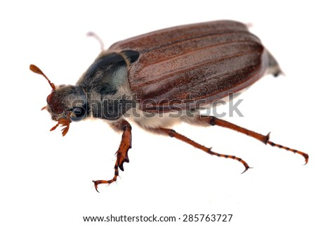 European cockchafer Melolontha melolontha isolated on white. - stock photo