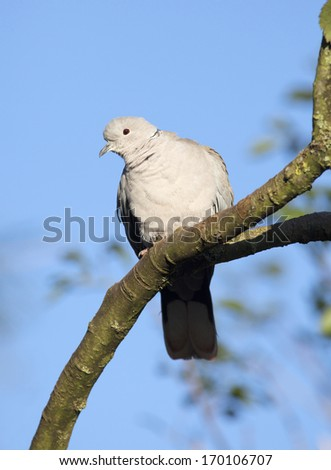 European Collared Dove perched in a tree. - stock photo