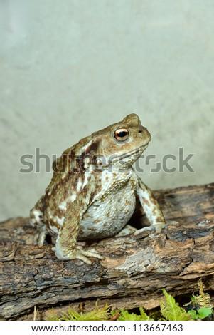 european common toad - stock photo