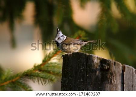 european crested tit ( parus cristatus ) standing on stump - stock photo